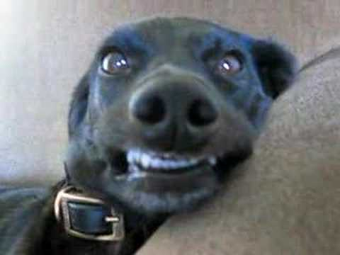 Dog Smiling Videos: The Definitive Collection